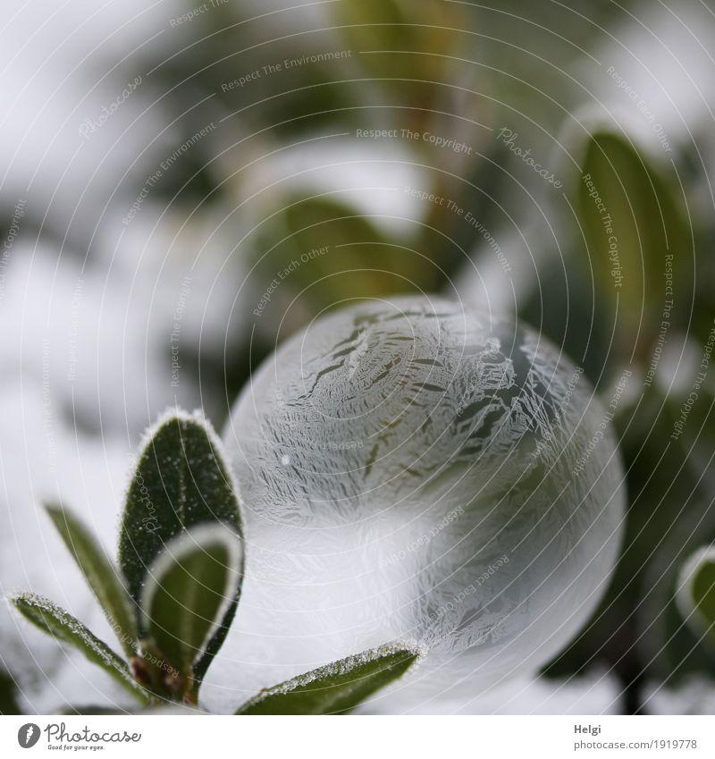 filigrane Eiskunst Umwelt Natur Pflanze Winter Frost Blatt Garten Seifenblase frieren liegen außergewöhnlich schön einzigartig kalt grau grün weiß ästhetisch