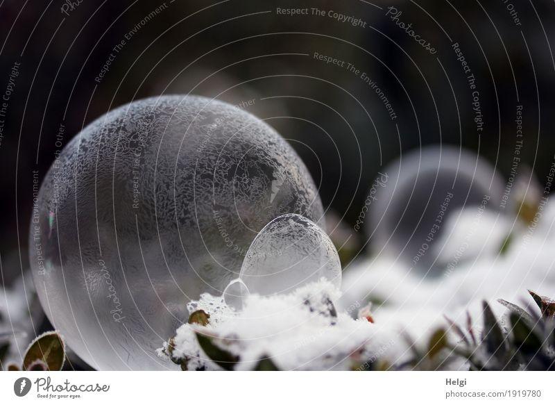 filigrane Eiskunst II Natur Pflanze Winter Frost Schnee Blatt Garten Seifenblase frieren liegen ästhetisch außergewöhnlich schön einzigartig kalt rund grau grün