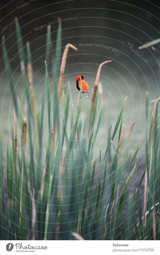 Schilfbewohner Erholung ruhig Ferne Freiheit Umwelt Natur Grünpflanze Schilfrohr Küste Seeufer Flussufer Teich Tier Wildtier Vogel 1 klein markant Birding