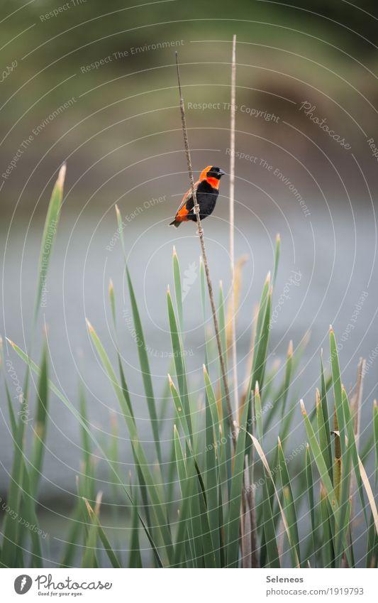 Farbklecks Ausflug Abenteuer Ferne Freiheit Umwelt Natur Pflanze Schilfrohr Küste Seeufer Flussufer Tier Wildtier Vogel Webervogel 1 exotisch klein nah