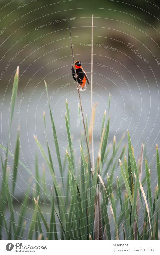 Southern Red Bishop Natur Sommer Sonne Tier Umwelt Küste klein Garten Freiheit Vogel Park Ausflug Wildtier Seeufer Flussufer Schilfrohr