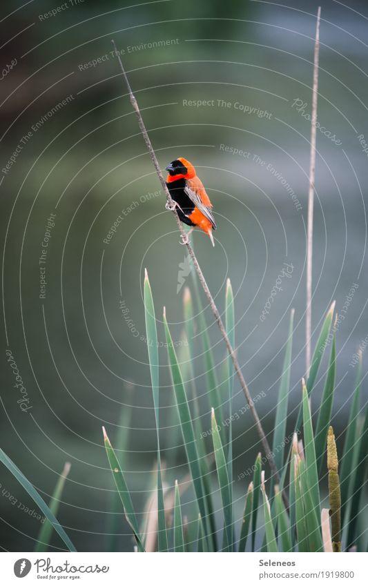 Southern Red Bishop Natur Ferien & Urlaub & Reisen Sommer Tier Ferne Umwelt Vogel Ausflug Wildtier Flügel festhalten Seeufer exotisch Schilfrohr Tiergesicht