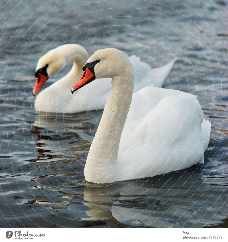 Paar weiße Schwäne Natur blau schön Wasser Landschaft rot Tier Umwelt gelb Gefühle Liebe grau See Vogel orange