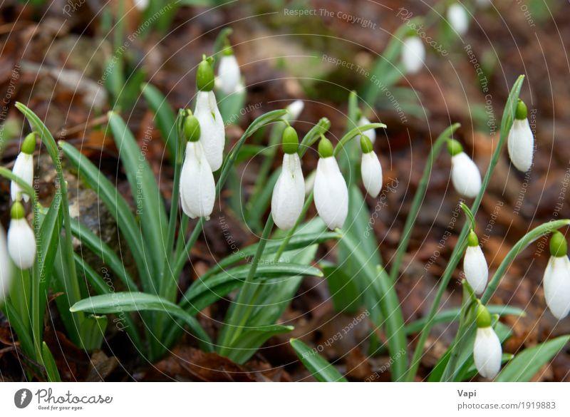 Frühlingsblumen - weiße Schneeglöckchen im Wald Winter Garten Umwelt Natur Pflanze Blume Gras Blatt Blüte Wildpflanze Park Wiese Tropfen frisch natürlich neu