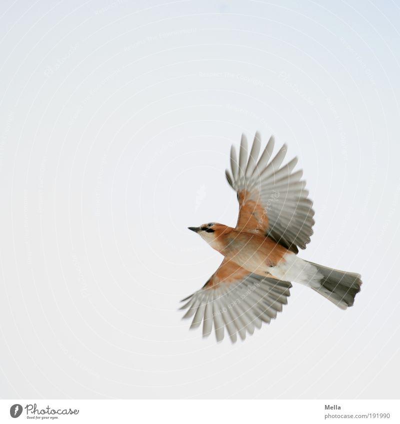 Wings wide open Natur Himmel Tier Bewegung Freiheit Luft hell Vogel Umwelt fliegen Erfolg frei Flügel natürlich Wildtier Rabenvögel
