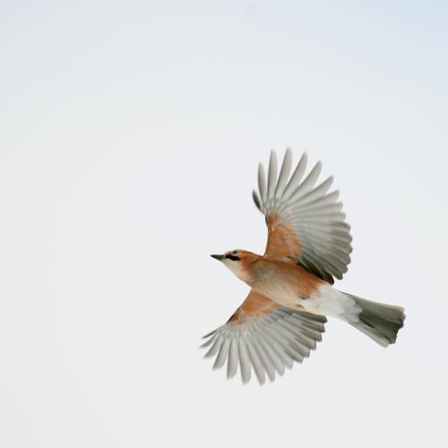 Wings wide open Umwelt Natur Tier Luft Himmel Wildtier Vogel Flügel Eichelhäher 1 fliegen frei hell natürlich Optimismus Erfolg Bewegung Freiheit Farbfoto