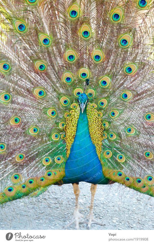 Blauer Pfau Tier Wildtier Vogel blau gelb grün Farbe Leitwerke Auge Indien Eröffnung Nationalitäten u. Ethnien tropisch bürstend parken Feder inländisch Fasan