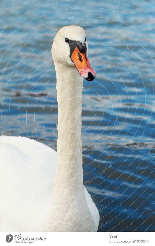 Schöner weißer Schwan elegant schön Wellen Umwelt Natur Tier Wasser Teich See Fluss Wildtier Vogel Tiergesicht 1 berühren Liebe niedlich Sauberkeit blau grau