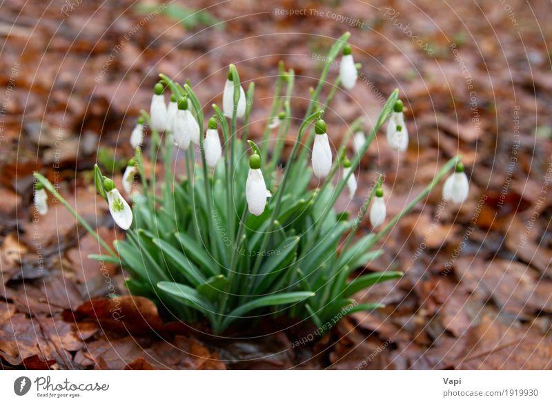 Frühlingsblumen - weiße Schneeglöckchen im Wald Natur Pflanze Farbe grün Blume Blatt Winter Umwelt Blüte Wiese natürlich Gras Garten