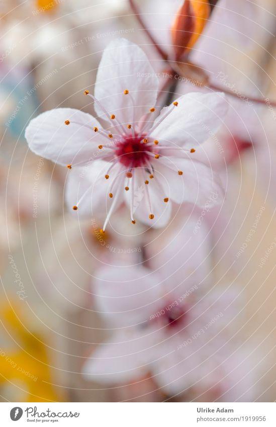 Frühling - Japanische Kirschbaumblüten elegant Design Garten Innenarchitektur Dekoration & Verzierung Tapete Bild Poster Natur Pflanze Baum Blume Blüte