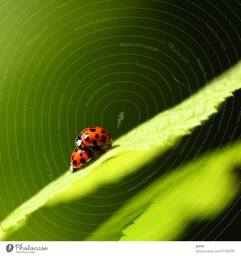 ...Frühlingsgefühle... Umwelt Natur Sommer Schönes Wetter Pflanze Blatt Grünpflanze Tier Wildtier Käfer 2 Tierpaar berühren natürlich Gefühle Glück Verliebtheit