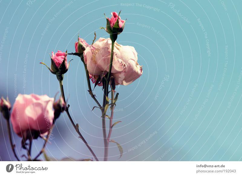 Time for some sommer! Natur schön Himmel blau Pflanze Blatt Blüte Park Umwelt Rose ästhetisch violett Blume Blühend leuchten Duft