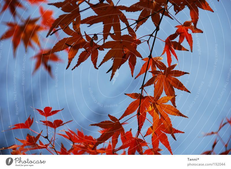 Ahorn Himmel Baum blau Pflanze rot Sommer Blatt Tier Frühling Stimmung Ahornblatt