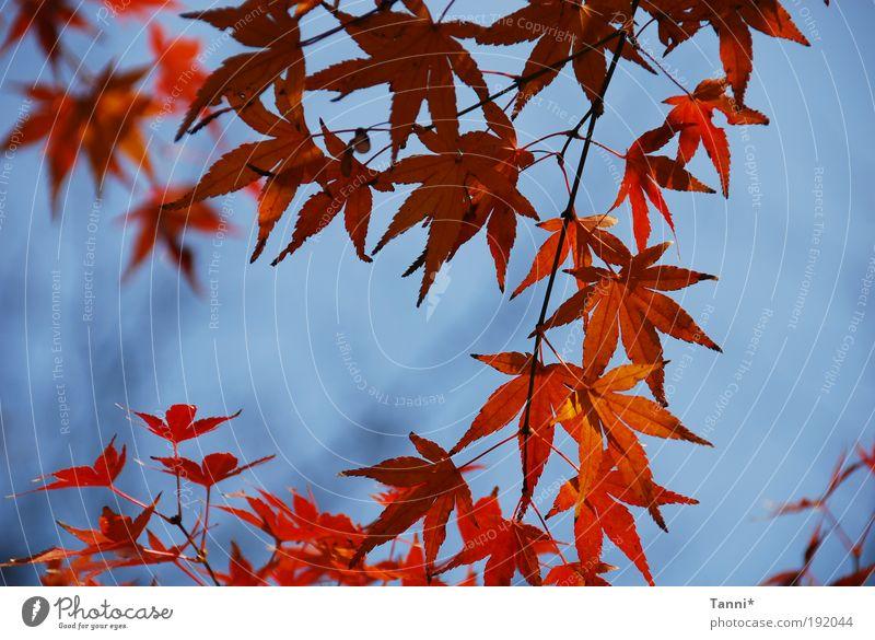 Ahorn Pflanze Tier Himmel Frühling Sommer Baum blau rot Stimmung Blatt Ahornblatt Farbfoto Außenaufnahme Strukturen & Formen Tag Kontrast