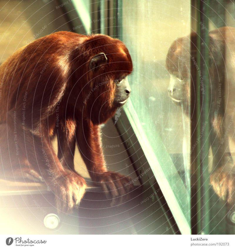 Heimweh Haare & Frisuren Ferne Freiheit Sommer Natur Urwald Fenster rothaarig langhaarig Behaarung Tier Wildtier Tiergesicht Zoo Affen 1 hocken Blick sitzen