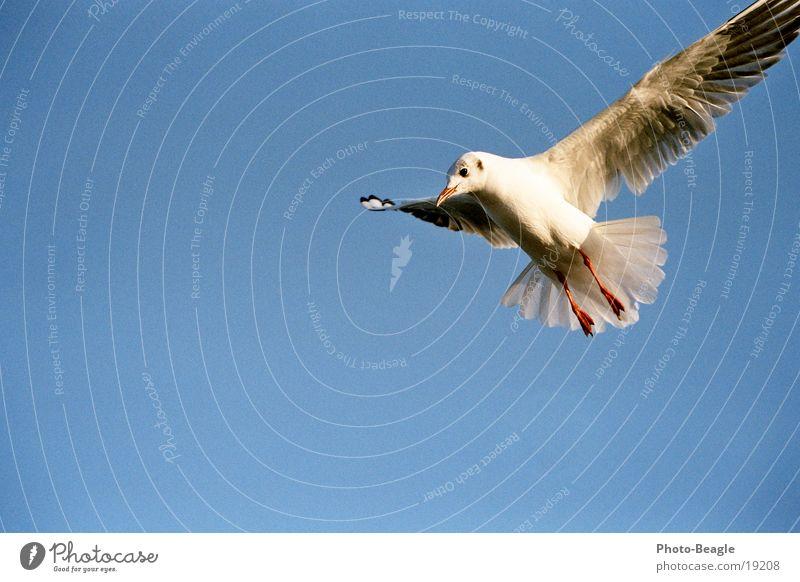 Landeanflug Himmel blau Ferien & Urlaub & Reisen See Vogel Ostsee Schönes Wetter Möwe Nordsee blau-weiß Möwenvögel