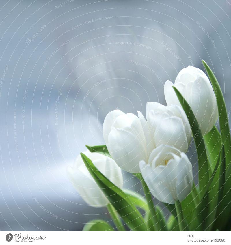 bisschen frühling am fenster schön weiß Blume Pflanze Blatt Blüte Frühling Glas ästhetisch Duft genießen Tulpe Grünpflanze Glasscheibe