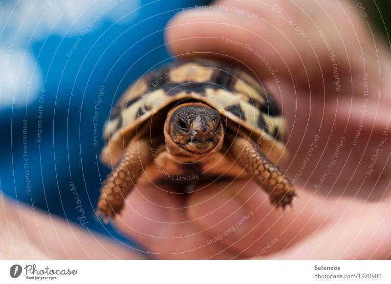 . Hand Finger 1 Mensch Umwelt Natur Tier Wildtier Tiergesicht Schildkröte Schildkrötenpanzer Tierjunges klein nah natürlich niedlich Farbfoto Außenaufnahme
