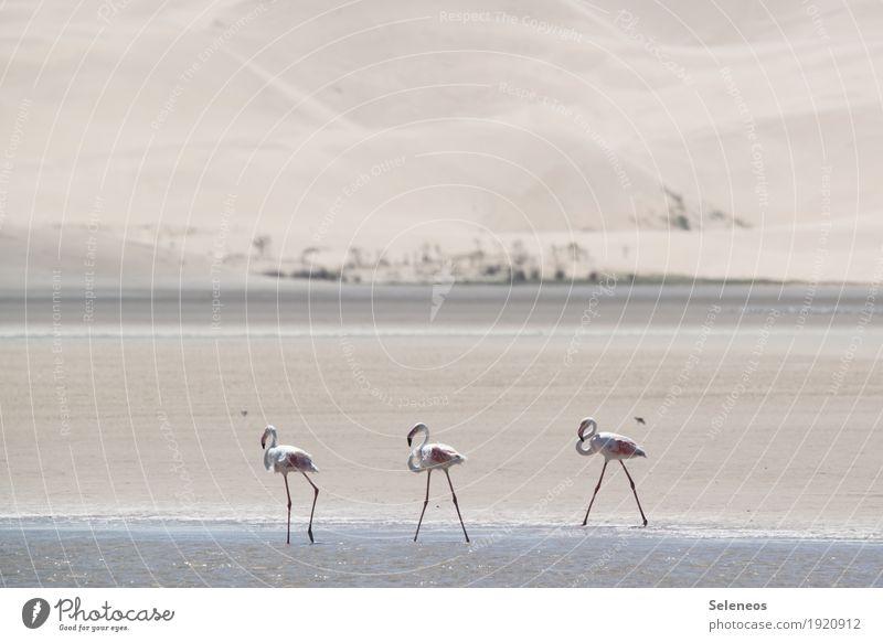 Flamingomarsch Ferien & Urlaub & Reisen Tourismus Ausflug Abenteuer Ferne Safari Expedition Sommer Sommerurlaub Sonne Strand Meer Umwelt Natur Schönes Wetter