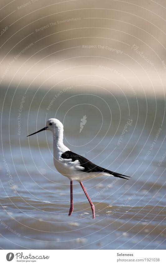 Stelzenläufer Ferne Freiheit Sommer Sommerurlaub Sonne Strand Meer Umwelt Natur Wasser Küste Flussufer Tier Wildtier Vogel Tiergesicht Flügel 1 frei nah nass