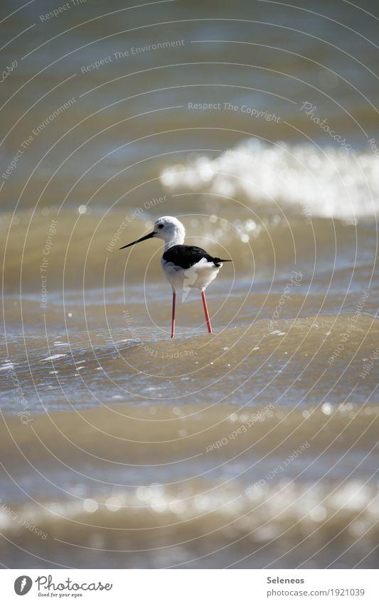 Pinocchio Sommer Sommerurlaub Sonne Strand Meer Wasser Küste Tier Vogel Tiergesicht Stelzenläufer nass natürlich Birding Vogelbeobachtung Farbfoto Außenaufnahme