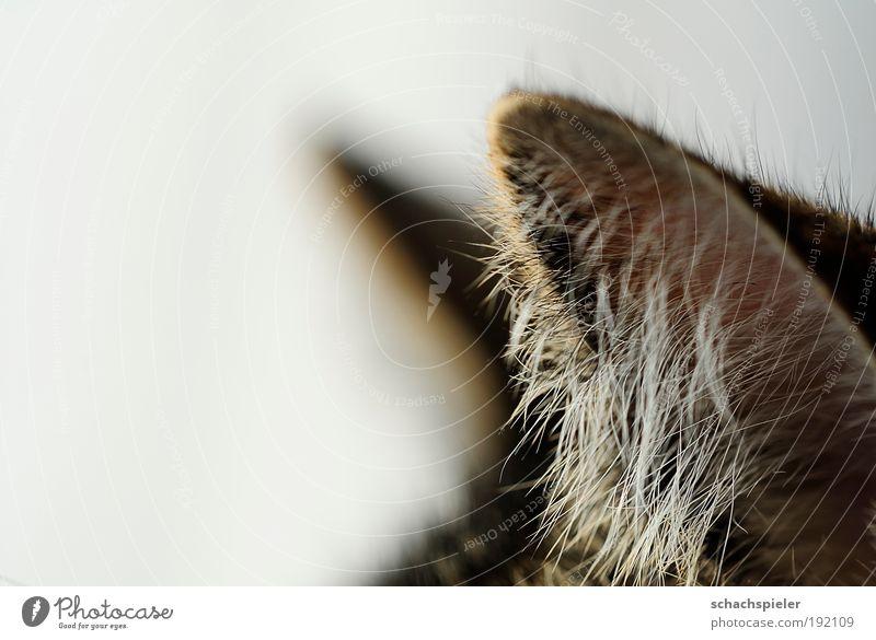 Horch! ruhig Tier Katze Wachsamkeit Hauskatze achtsam Makroaufnahme