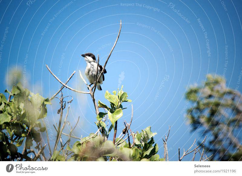 Common Fiscal Freiheit Sommer Sonne Umwelt Natur Himmel Wolkenloser Himmel Schönes Wetter Pflanze Sträucher Blatt Geäst Garten Park Tier Wildtier Vogel