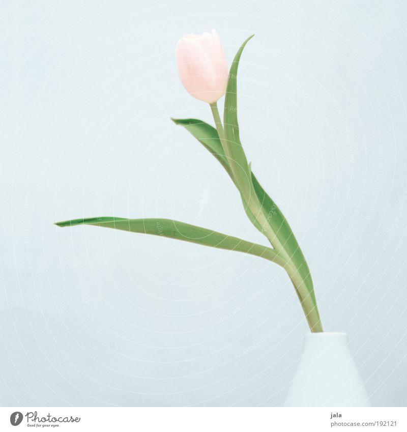 Four oh oh schön Blume Pflanze rosa elegant ästhetisch einfach Tulpe Vase hell-blau