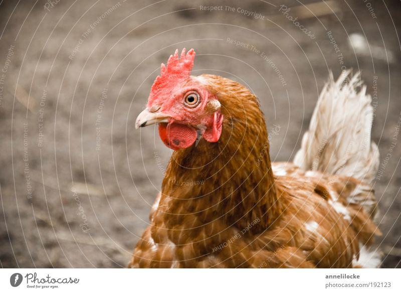 .. put . put .. put ... Natur Tier Landschaft Garten Vogel braun Erde Lebensmittel Ernährung Feder Flügel Neugier Landwirtschaft Dorf Bauernhof Tiergesicht