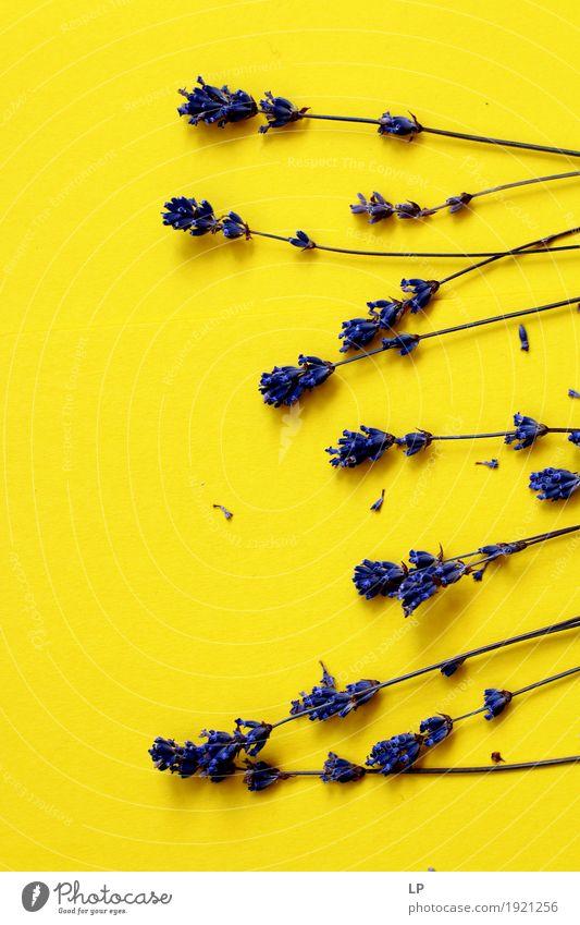 Lavendel Strohhalme auf gelbem Hintergrund Lifestyle Stil Design Freude Medikament Wellness Leben harmonisch Wohlgefühl Zufriedenheit Sinnesorgane Erholung