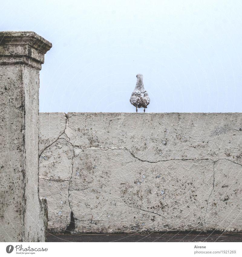 genießen | die Aussicht Mauer Wand Pfosten Säule Tier Vogel Möwe 1 Stein Beton Riss verwittert beobachten sitzen warten braun grau Einsamkeit hell-blau