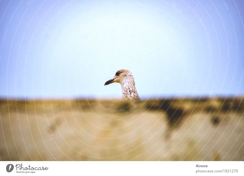 Kuckuck! Mauer Wand Tier Vogel Möwe 1 gehen laufen klein lustig niedlich blau gelb Schüchternheit verstecken Farbfoto Außenaufnahme Menschenleer