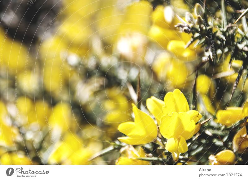 Abstand halten, bitte! Pflanze Sträucher Blüte Wildpflanze Stechginster Ginster Stachel Dorn Blühend Freundlichkeit hell natürlich Spitze stachelig gelb