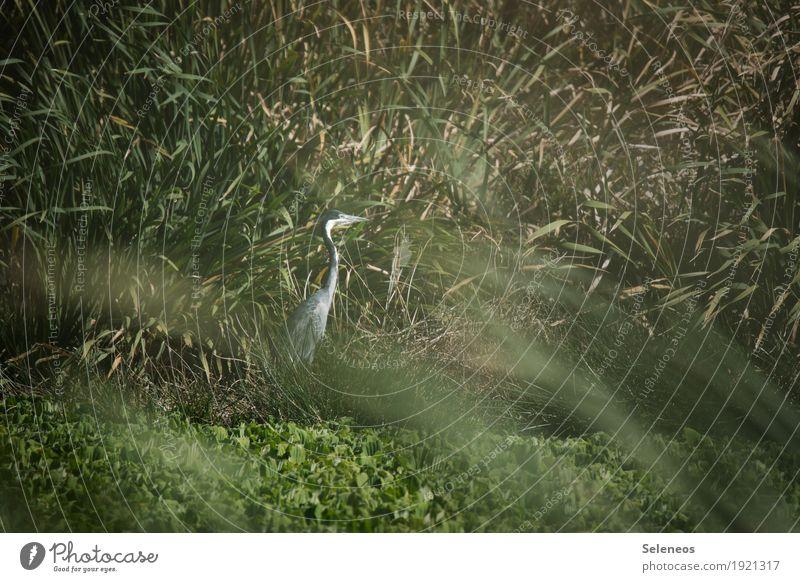 Schwarzhalsreiher Sommer Umwelt Natur Schönes Wetter Pflanze Gras Schilfrohr Küste Seeufer Flussufer Teich Tier Wildtier Vogel Reiher 1 natürlich Farbfoto