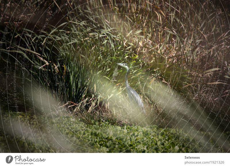 black-headed heron Natur Sommer Tier Umwelt natürlich Küste See Vogel Wildtier Schönes Wetter Seeufer Flussufer verstecken Schilfrohr Teich verdeckt