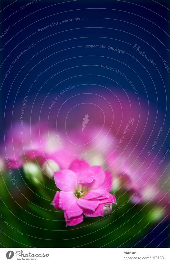 Kalanchoe Duft Valentinstag Muttertag Taufe Gartenarbeit Gärtnerei Natur Frühling Sommer Pflanze Blume Blüte Topfpflanze Blühend ästhetisch frisch positiv blau
