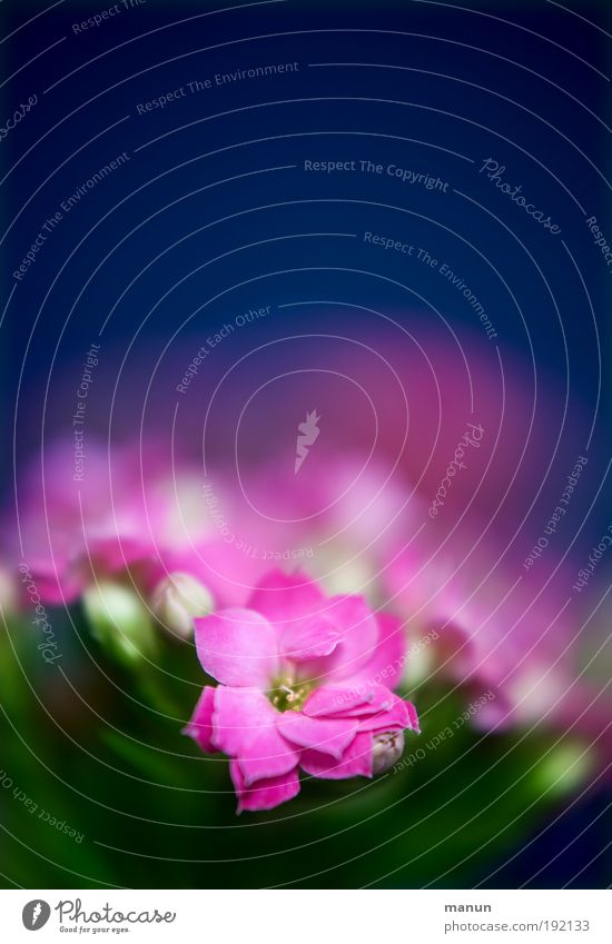 Kalanchoe Natur Blume blau Pflanze Sommer Blüte Frühling rosa Design frisch ästhetisch Romantik Blühend Duft positiv Gartenarbeit