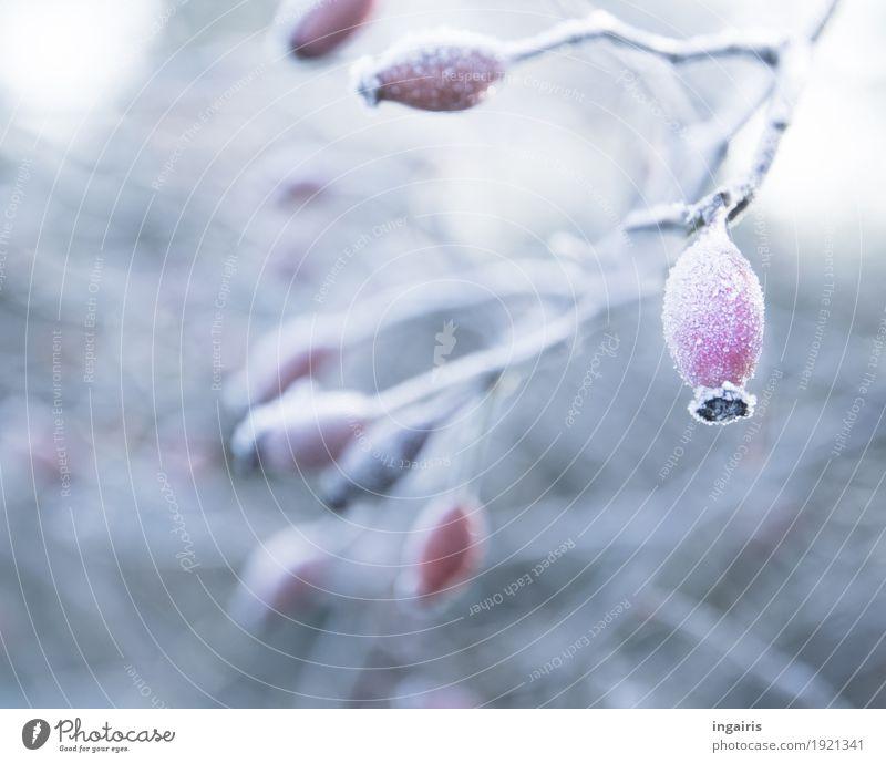 Zartes Frostgewächs Natur Pflanze Klima Eis Sträucher Hagebutten Zweige u. Äste Beeren Garten hängen kalt natürlich grau rot weiß Stimmung Glaube