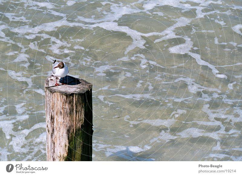 Der Pfahl in der Brandung... ;-) See Meer maritim Möwe Zingst Möwenvögel Ostsee Baltic Sea Pfosten Wasser auslaufende Welle sea seaside ocean wave waves holiday