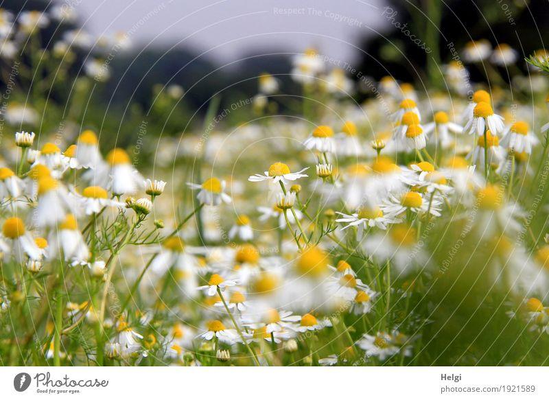 Sommerblumenwiese Natur Pflanze grün weiß Landschaft Blume Blatt Umwelt Leben gelb Blüte natürlich grau Feld Wachstum