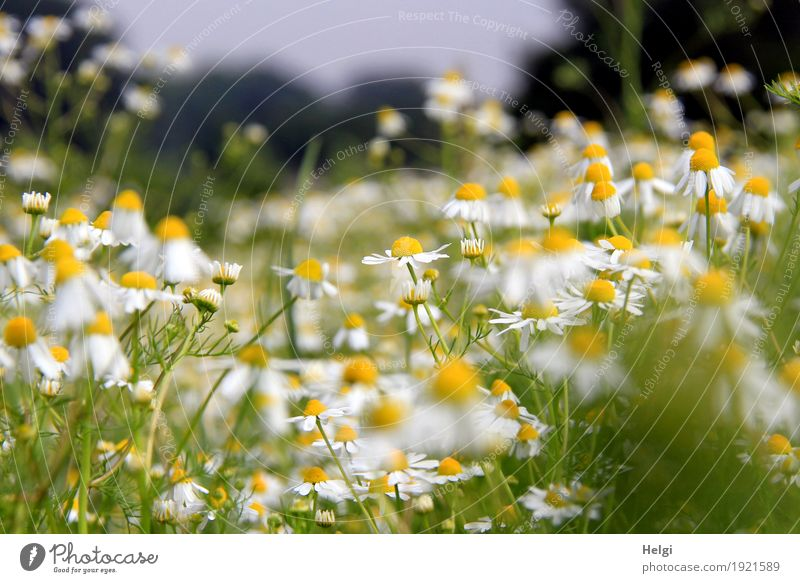 Sommerblumenwiese Umwelt Natur Landschaft Pflanze Schönes Wetter Blume Blatt Blüte Wildpflanze Kamille Feld Blühend Duft Wachstum authentisch natürlich gelb