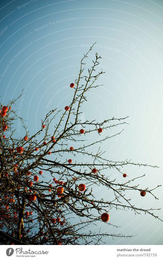 APFELBAUM Natur Baum Pflanze rot Winter ruhig Einsamkeit kalt Umwelt elegant ästhetisch rund Ast Apfel Idylle fantastisch