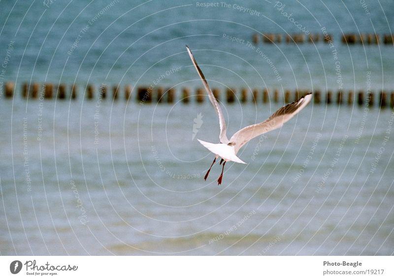 Geier Sturzflug ;-) Möwe Segeln Gleitflug gleiten Wärme See Meer Zingst Möwenvögel Luftverkehr Freiheit Luftströmung Aufwind Ostsee sea seaside ocean wave waves