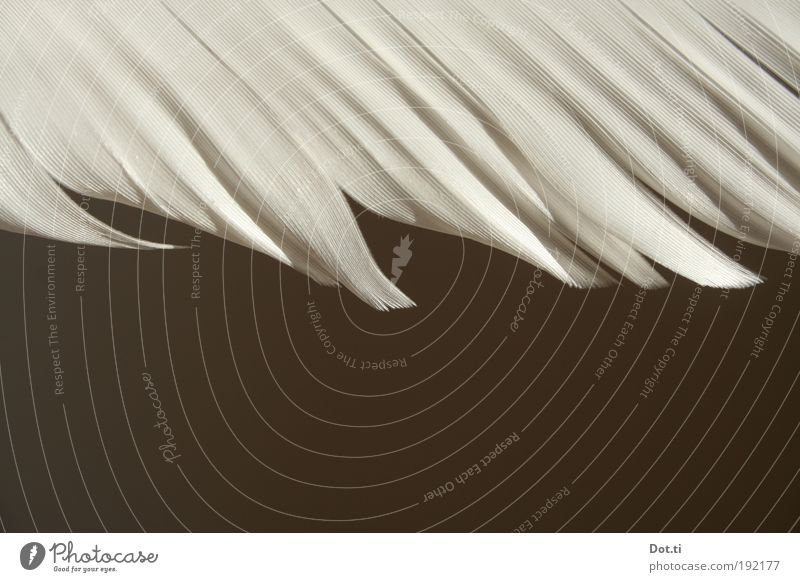 Feder Tier Vogel weiß ästhetisch Hintergrundbild Farbfoto Gedeckte Farben Innenaufnahme Detailaufnahme Strukturen & Formen Menschenleer Textfreiraum unten