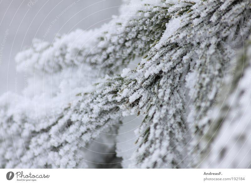 Bis zum nächsten Mal, lieber Winter! Umwelt Natur Pflanze schlechtes Wetter Eis Frost Schnee Baum kalt Raureif Tanne Tannenzweig Kiefer Nadelbaum
