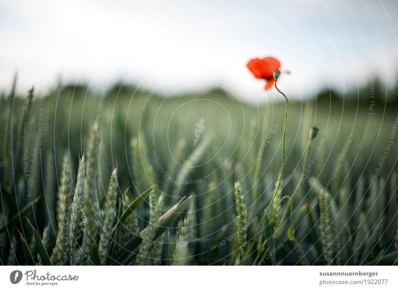 Mohn im Feld Natur Pflanze Sommer grün Landschaft rot Wiese Glück Frühlingsgefühle