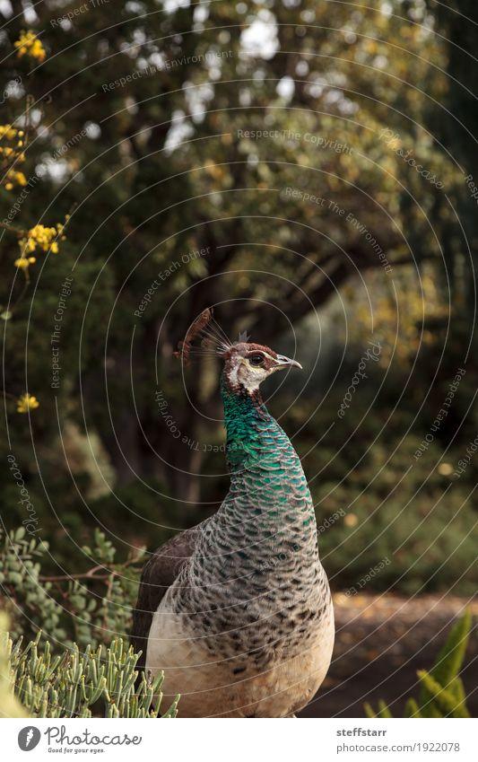 Brown und grünes weibliches Peafowl Pavo muticus Frau Mann blau Tier Erwachsene Garten Vogel Wildtier Feder Pfau Wildvogel