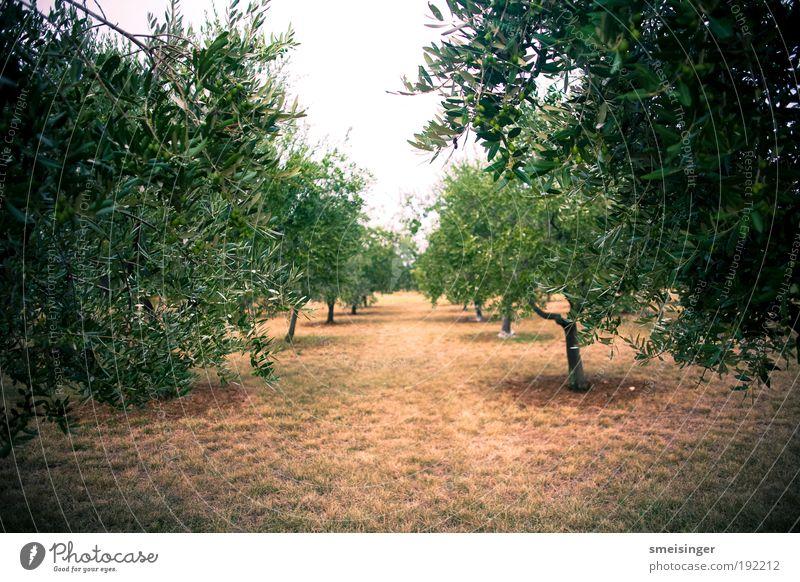 olivenhain Natur grün Baum Pflanze Sommer ruhig Wald Ferne Umwelt Wege & Pfade Garten Park braun Zufriedenheit Perspektive Idylle