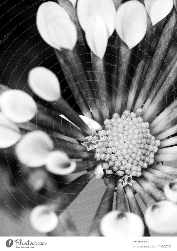 blumig Natur Landschaft Pflanze Frühling Blume Blüte alt ästhetisch Duft schön grau schwarz weiß Schwarzweißfoto Gedeckte Farben Außenaufnahme Nahaufnahme
