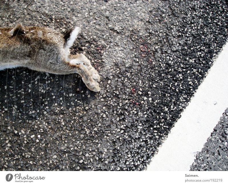 tot Verkehr Straßenverkehr Verkehrsunfall Tier Wildtier Totes Tier Fell Pfote Hase & Kaninchen 1 liegen Mitgefühl Trauer Tod Ekel Schmerz Vergänglichkeit